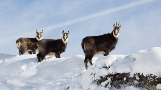 Chamois en hiver Parc national des Écrins