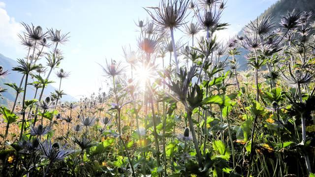 Les chardons bleus de la vallée du Fournel