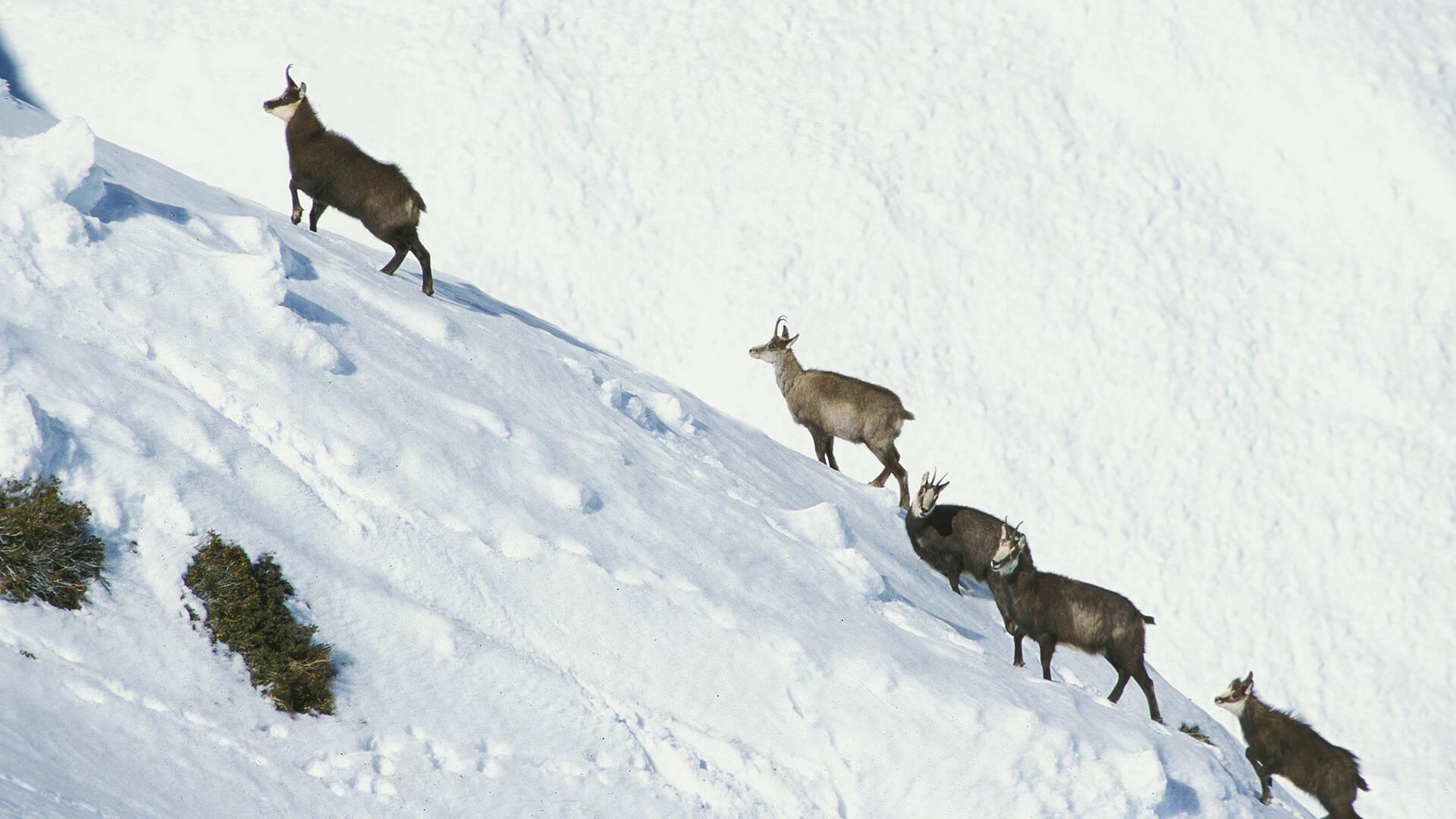 Chamois en hiver